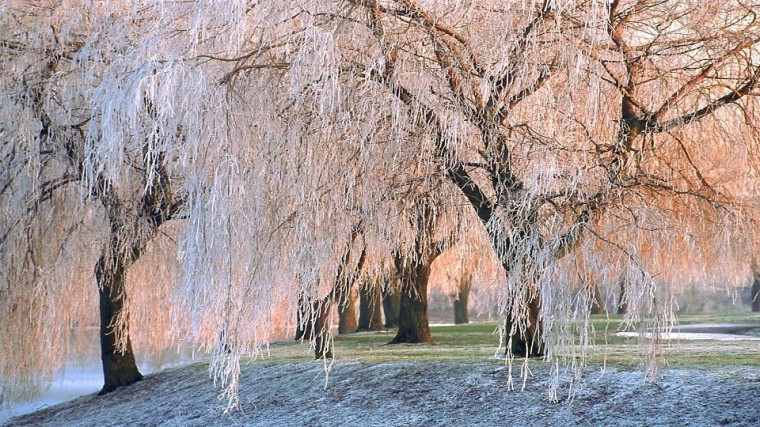 ice-covered willows free-desktop-backgrounds.net