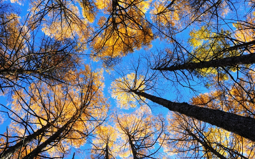 looking_up_at_trees_with_autumn_leaves_stretching_into_the_sky.2560x1600.fa2d857c