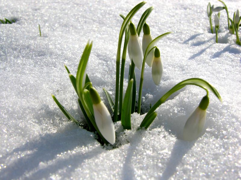 spring_snow_budding_flowers_hd-wallpaper-331597