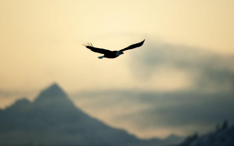 wallpaperup.com, eagle