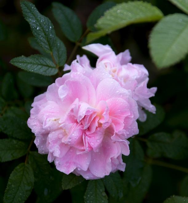 rose dewdrops